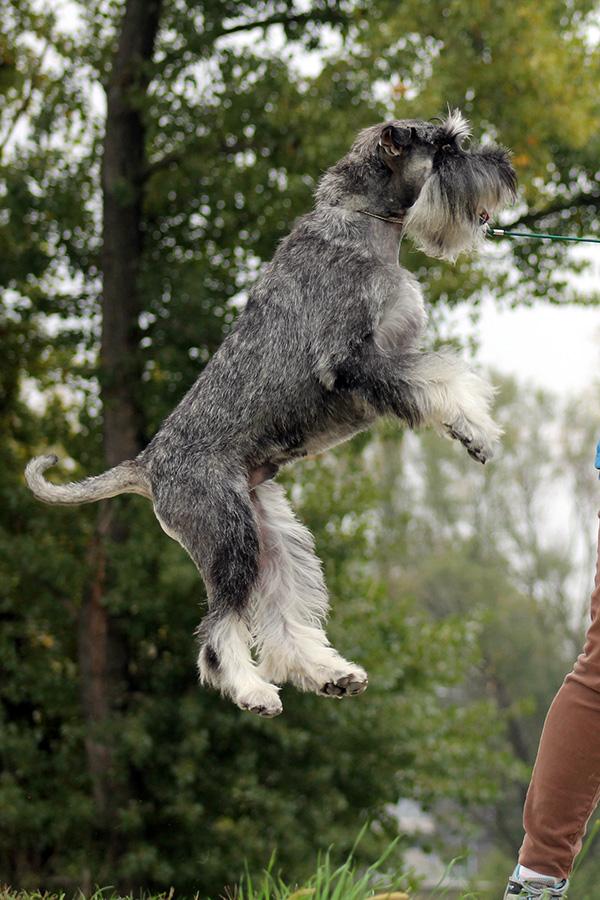 Resultado de imagen para schnauzer jumping